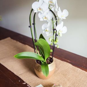 Orchid-Plant-delivery-Essex